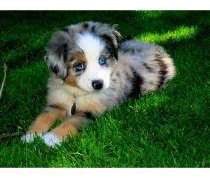 miniature australian shepherd puppies 25 best ideas about mini australian shepherds on mini aussie mini aussie