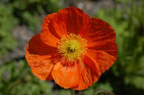 Orange Flowery maggio arancione e generoso fito