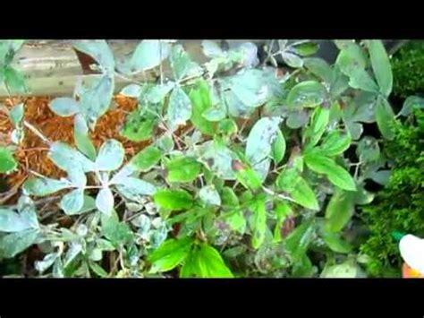 Blus Ncim 7 powdery mildew