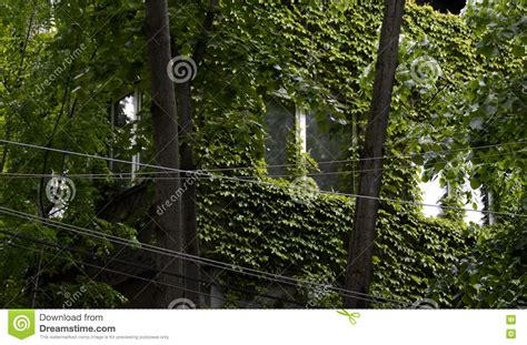 house climbing plants house wall covered with green climbing plants stock photo