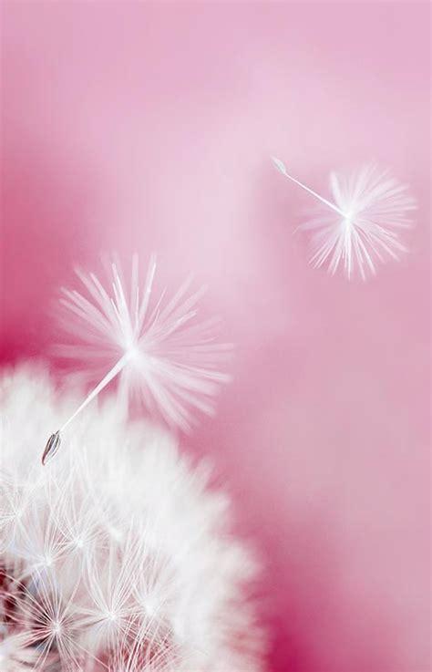 Qw Wallpaper Dandelion Pink pin by teri p on dmuchawce latawce wiatr dandelions true faith and lord