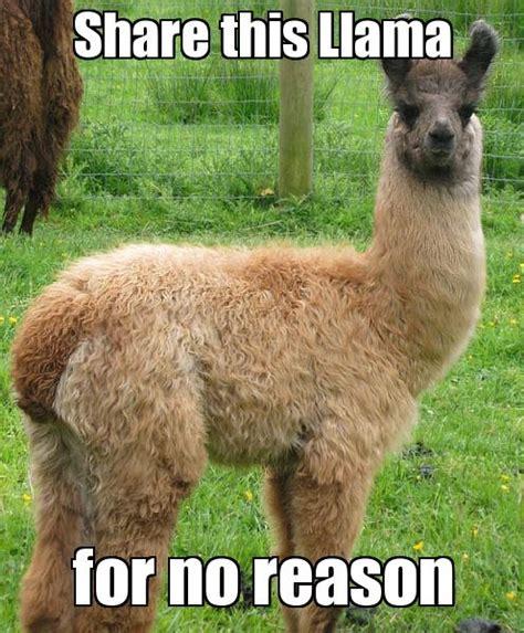 Alpaca Sheep Meme - repin this llama because llama 1st board pinterest