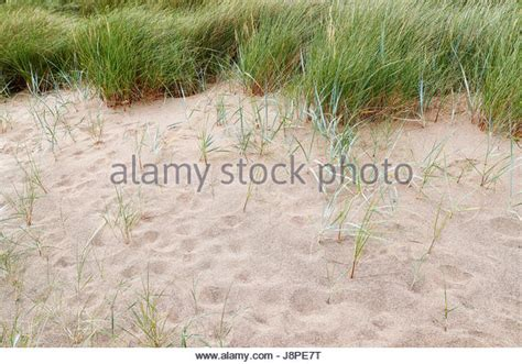 sand couch grass sand couch grass stock photos sand couch grass stock