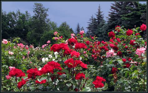 landscape with roses a photo from north ossetia north caucasus trekearth