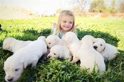 golden retriever puppies southern ca available goldens southern california golden retriever pdf