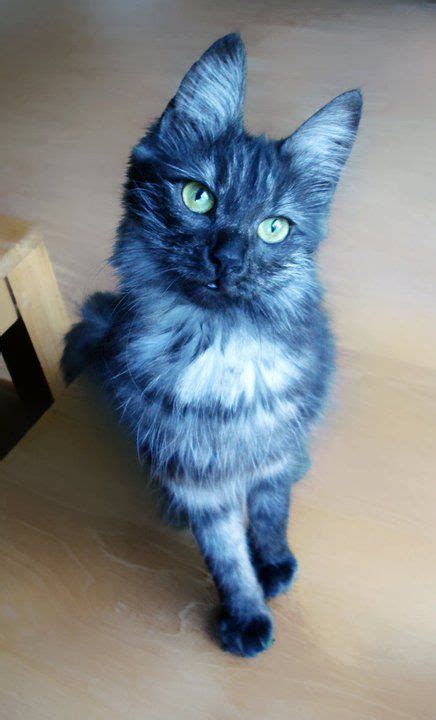 blue cats black smoke turkish angora cat did you see a blue