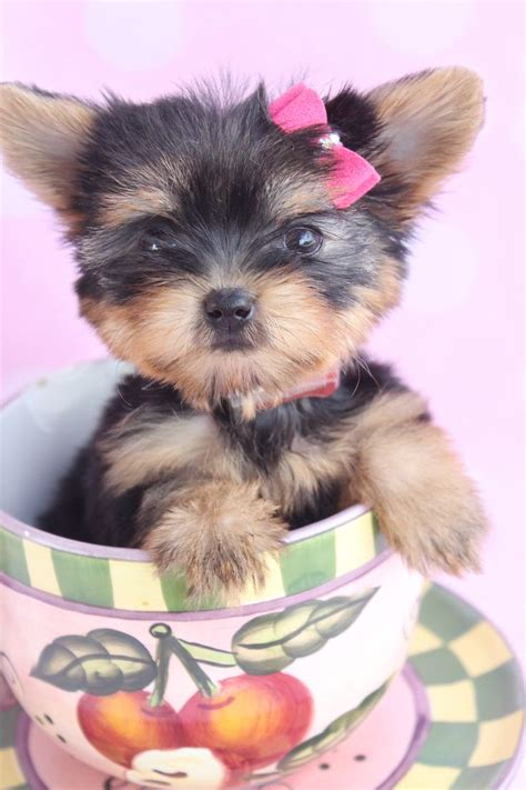 yorkie puppies for sale south florida 160 best adorable sweet t cup puppies for sale images on teacup