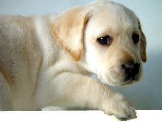 yellow lab puppies for sale in ma black lab puppies for sale in ma dogs in our photo