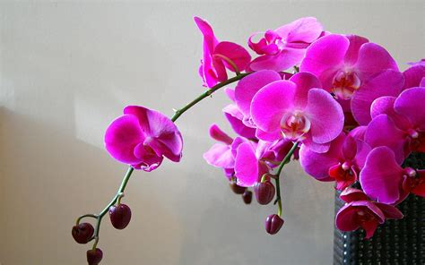 immagini fiori orchidee sfondi desktop orchidee scarica sfondi gratuiti