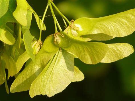 maple tree fruit kostenloses foto ahornfrucht ahorn baum gr 252 n kostenloses bild auf pixabay 7194