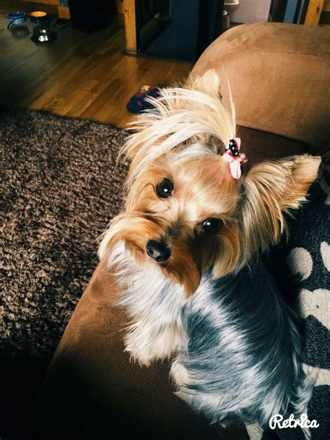 yorkie puppies for sale in michigan ebay 17 best images about for the of yorkies on yorkie puppies for sale