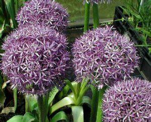 fiori invernali perenni piante perenni 32 variet 224 per bordura giardino balcone
