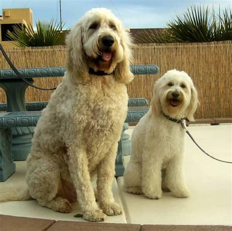 goldendoodle puppy to grown grown mini goldendoodles breeds picture
