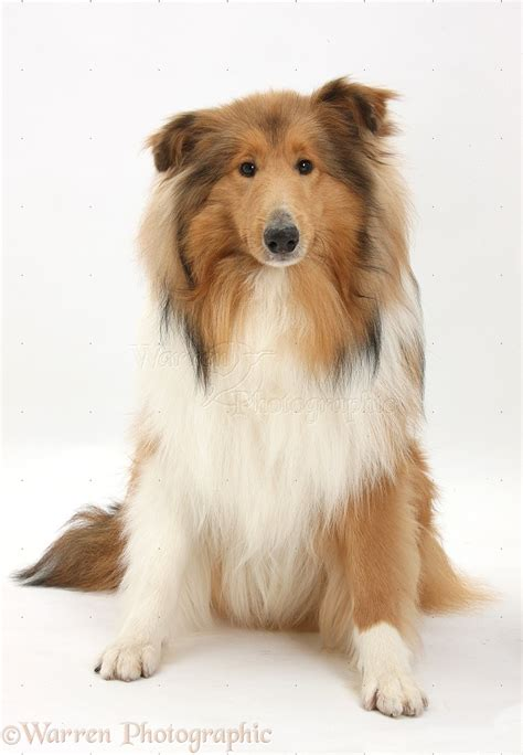 collie dogs collie sitting photo wp38192