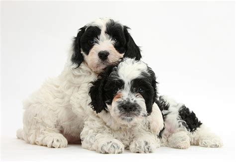 Home Decor Blogs 2014 Black And White Cavapoo Puppies Photograph By Mark Taylor