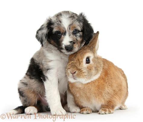 miniature american shepherd puppies pets merle mini american shepherd puppy and rabbit photo wp38407