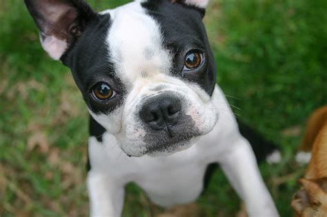 puppy boston terrier boston terrier temperament names rescue adoption