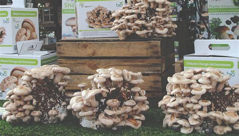 coltivare funghi in casa agricola coltivare funghi a casa tua