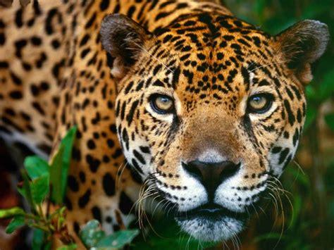 rainforest jaguar facts image gallery rainforest jaguar
