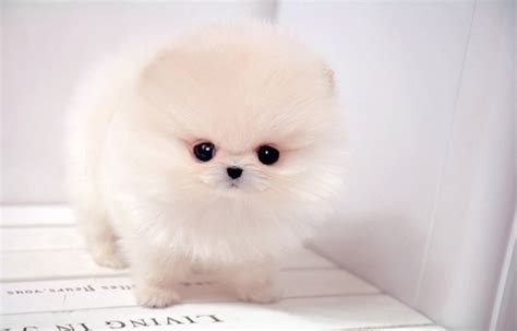 pomeranian boo price boo pomeranian puppies pet wallpapers pet pet puppies kittens