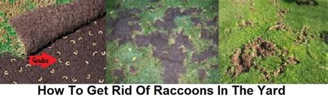 how to get rid of a raccoon in your backyard raccoon removal control prevention we get rid of raccoons