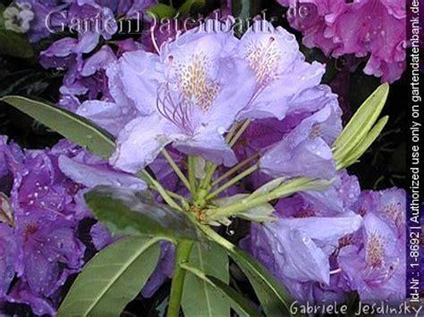 wann rhododendron pflanzen bild b 228 ume schneiden baumschnitt obstbaumschnitt