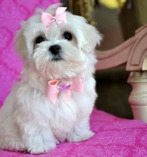 teacup maltese puppies for sale in nc puppy dogs teacup maltese puppies