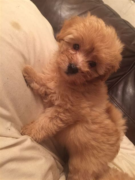 pomapoo puppies pomapoo puppies doncaster south pets4homes
