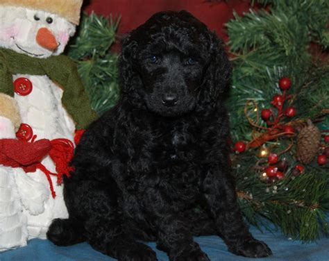 standard poodle puppies for sale in show standard poodle puppies for sale dogs our friends photo