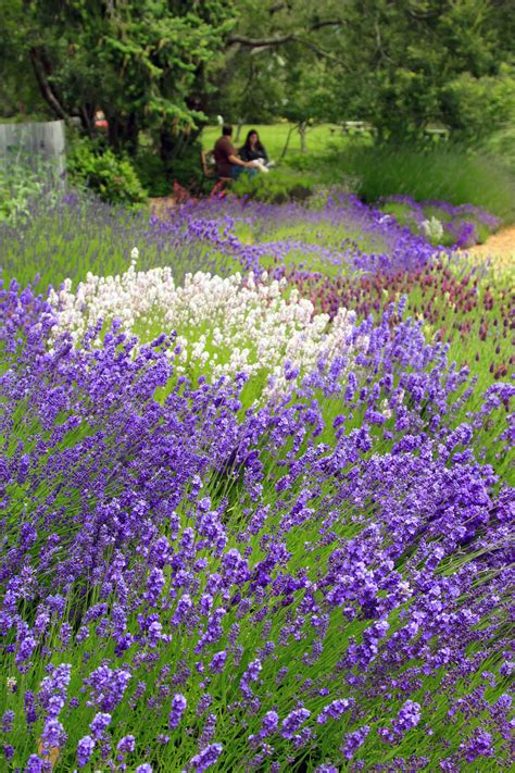 lavender varieties pelindaba lavender lavender products and lavender farm on san juan island
