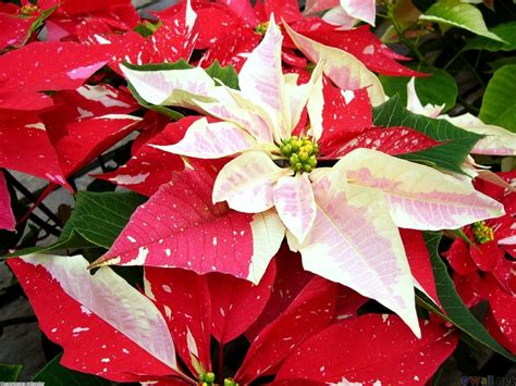 google images poinsettia poinsettia earth laughs in flowers pinterest