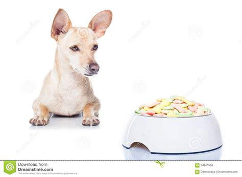 chihuahua dog eating food from a bowl royalty free stock hungry dog with bowl stock photo image of diet bowl