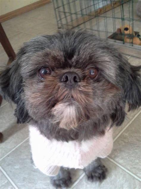 shih tzu eyelashes 1000 images about shih tzu on for dogs and eyelashes