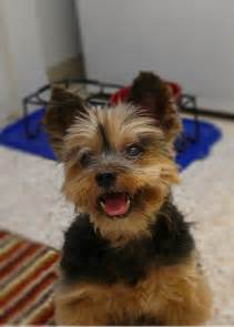types of yorkie haircuts yorkie grooming styles pictures image search results dog