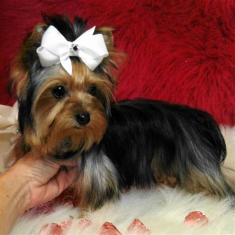 micro teacup yorkie grown micro teacup yorkie julie breeds picture