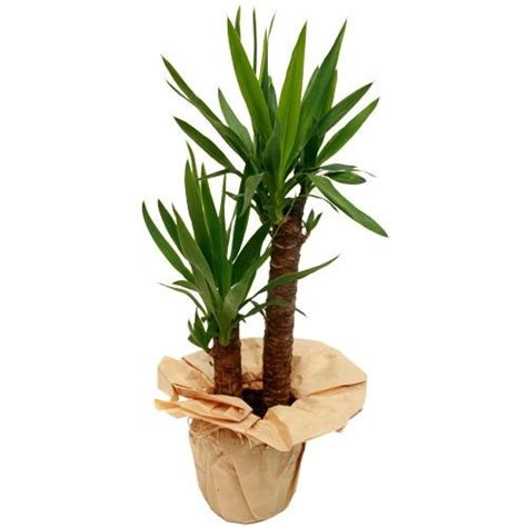 Plante Verte Yucca by Yucca 2 Pieds Plante Verte Livraison Express Florajet