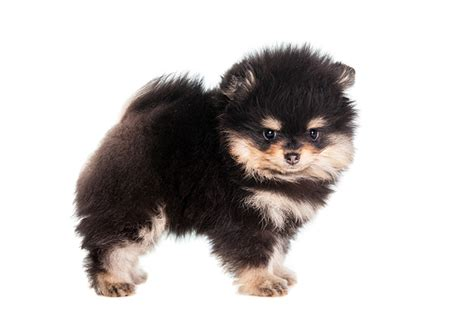 how to tell if your is a pomeranian pomeranian puppies dogtime