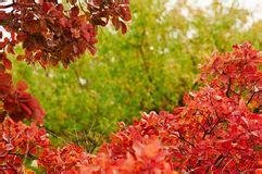 Baum Mit Roten Bl Ttern 136 by Herbst Bokeh Hintergrund Eingefa 223 T Mit Bl 228 Ttern Stockfoto