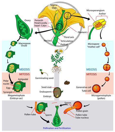 il fiore e la riproduzione fecondazione con fiori e polline riproduzione delle