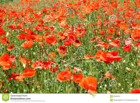 red poppy flowers in bloom royalty free stock photography