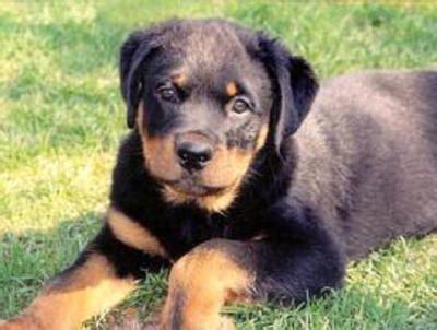 world s smartest breed top 10 world s smartest breeds