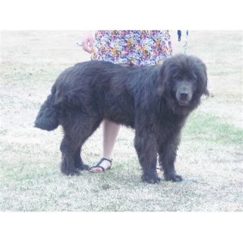 newfoundland puppies maine crooked river saints newfoundland breeder in waterford maine listing id 21680
