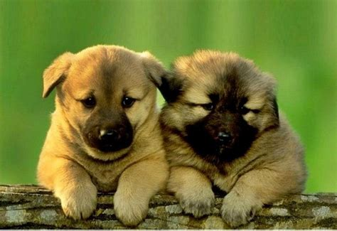 kangal puppies for sale 55 best ideas about kangal on puppys kangal and cheetahs