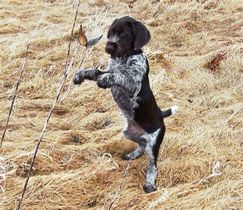 pointer breeds pointer breed profile breeds picture