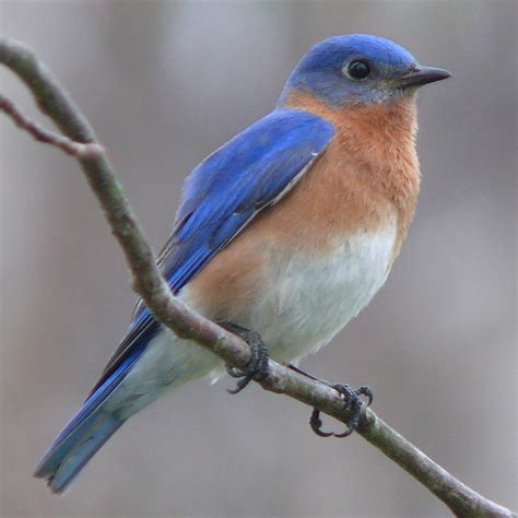 bluebirds have arrived in ohio birds and blooms
