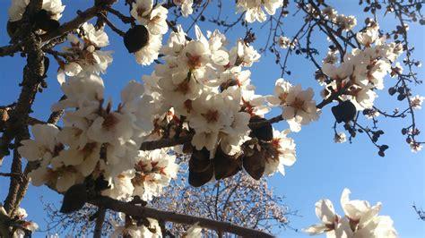 sagra mandorlo in fiore la sagra mandorlo in fiore a naro e ad agrigento