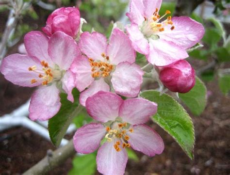 apple blossom flowers planets apple blossom flowers beautiful