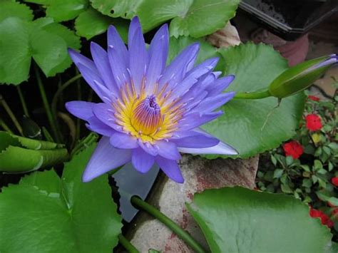 nymphaea nouchali blue lotus world  flowering plants