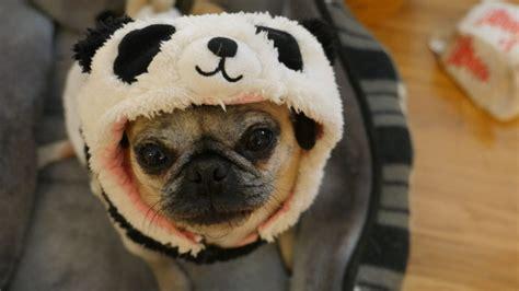 pug panda costume about pug pugs pugs pug stories all pugs