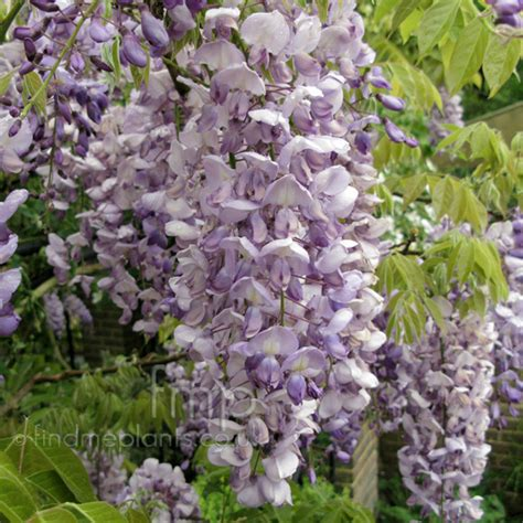plant pictures wisteria sinensis wisteria secondary image